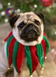 Portrait du chien mignon de roquet habillé dans le collier vert et rouge de tintement du carillon de Noël de velours avec l'arbre image stock