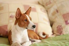 Portrait du chien royal de basenji se trouvant sur le sofa images libres de droits