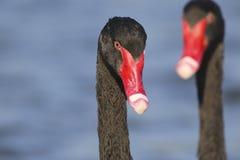 Portrait du cygne deux noir Photo stock