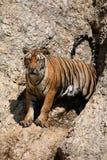 Portrait du grand tigre, Thaïlande Image stock