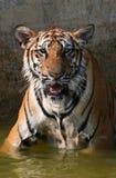 Portrait du grand tigre, Thaïlande Image libre de droits