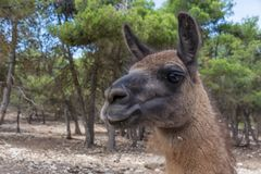 Portrait du guanaco, guanicoe de lama contre le feuillage vert image libre de droits