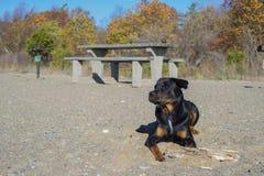 Portrait du jeune chien adulte de rottweiler se reposant sur une plage sablonneuse Photos libres de droits
