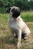 Portrait du jeune chien de roquet se reposant sur l'herbe Photos libres de droits