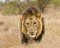Portrait du lion masculin sauvage marchant dans le buisson, Kruger, Afrique du Sud Images stock