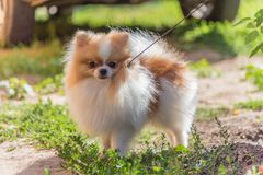 Portrait du petit chien pelucheux regardant à l'appareil-photo photographie stock