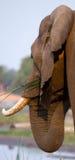 Portrait du plan rapproché d'éléphant zambia Abaissez le parc national du Zambèze Photographie stock