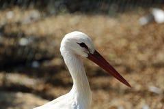 Portrait du plan rapproché de cigogne blanche un jour d'été Images stock