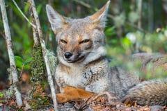 Portrait du renard adroit images libres de droits