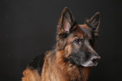 Portrait du ` s d'Alfie de chien de Sheperd de Germen sur Black&white Backround Images stock
