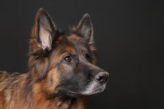 Portrait du ` s d'Alfie de chien de Sheperd de Germen sur Black&white Backround Photo stock