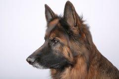 Portrait du ` s d'Alfie de chien de Sheperd de Germen sur Black&white Backround images libres de droits