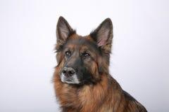Portrait du ` s d'Alfie de chien de Sheperd de Germen sur Black&white Backround image stock