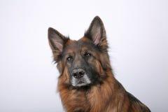 Portrait du ` s d'Alfie de chien de Sheperd de Germen sur Black&white Backround image libre de droits