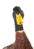 Portrait duck Stock Photography