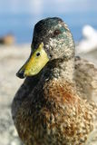 Portrait of duck. Portrait of single duck outdoors with water in background Royalty Free Stock Photos