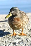 Portrait of duck. Portrait of brown duck outdoors with lake in background Royalty Free Stock Photo