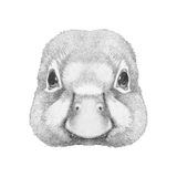 Portrait of Duck. Royalty Free Stock Photo