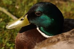 Portrait of a duck Mallard - Front view - France. Portrait of a duck Mallard, in the sun in front of a lake. It is in France, to Elancourt in the department of Royalty Free Stock Image