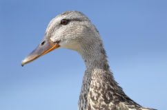 Portrait of duck Stock Photos