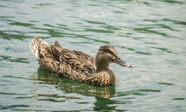 Portrait  of duck on the water Royalty Free Stock Photography
