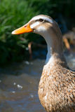 A portrait of ducks Stock Photos