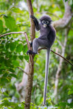 Portrait of Dusky leaf monkey Stock Photography
