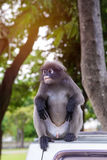 Portrait of Dusky leaf monkey in national park Stock Photos