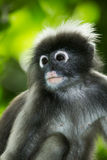 Portrait of Dusky Leaf-monkey Stock Images