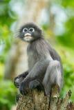 Portrait of Dusky Leaf-monkey Stock Image
