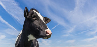 Portrait of a dutch black and white cow Royalty Free Stock Photography