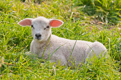 Portrait of a Dutch lamb lying in grass Stock Image