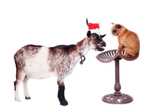 Portrait Of dwarf Goat in christmas hat On White Royalty Free Stock Photography