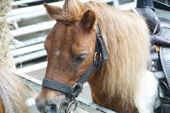 Portrait The Dwarf horse in farm stock photography