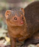 Portrait of the Dwarf Mongoose Royalty Free Stock Image
