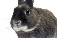 Portrait of a dwarf rabbit Stock Images