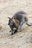 Dwarfish gray kangaroo Royalty Free Stock Image