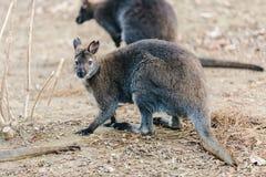 Dwarfish gray kangaroo Stock Photo