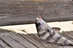 Portait of a dying fish that is hooked. Portrait of a dying Black Drum fish caught with a hook where the line, lead and some blood can be seen stock photos