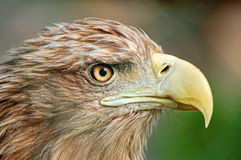 Portrait of eagle. Portrait of a wild eagle royalty free stock image