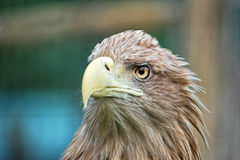 Portrait of eagle. Portrait of tje wild eagle stock images