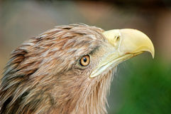 Portrait of eagle. Portrait of the wild eagle Stock Photo