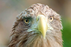 Portrait of eagle. Portrait of a wild eagle royalty free stock photo