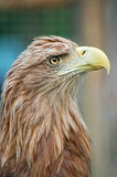 Portrait of eagle. Portrait of the wild eagle royalty free stock image