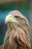 Portrait of eagle. Portrait of a wild eagle Royalty Free Stock Photography