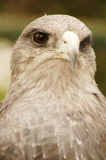 Portrait of an eagle Royalty Free Stock Photos