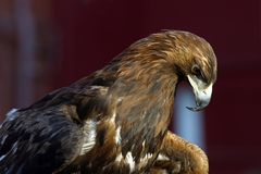 Portrait of an eagle - 2 Stock Image