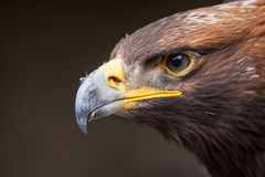 Portrait of an eagle Stock Images