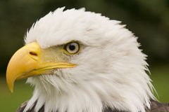 Portrait of an eagle Royalty Free Stock Photo