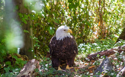 Portrait of a eagle Royalty Free Stock Photography